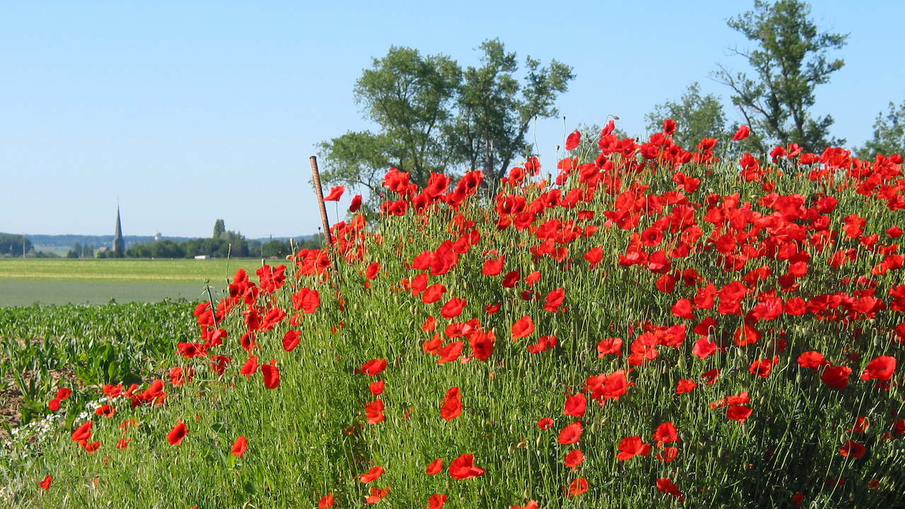 coquelicots chateauroux